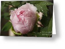 Tree Peony With Droplets Greeting Card
