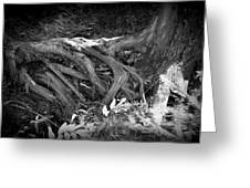 Tree Roots1 Greeting Card