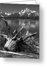 Tree Stump On The Shore Of Lewis Lake At Yellowstone Greeting Card