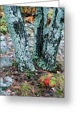 Tree Trio In Lichen At Hawn State Park Greeting Card