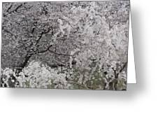 Trees Heavy With Cherry Blossoms Greeting Card