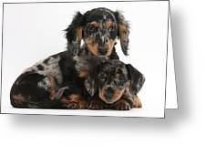 Tricolor Dachshund Puppies Greeting Card