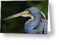 Tricolor Heron Portrait Greeting Card
