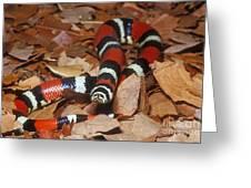 Tricolor Hognose Snake Greeting Card