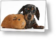 Tricolor Merle Dachshund Pup And Red Greeting Card