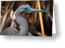 Tricolored Heron In Breeding Plumage Greeting Card