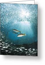 Trio Of Snappers Hunting For Bait Fish Greeting Card