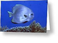 Tropical Fish Bat-fish Greeting Card