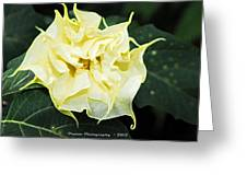 Trumpet Flower Accented Fx  Greeting Card
