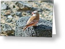 Trumpeter Finch Greeting Card