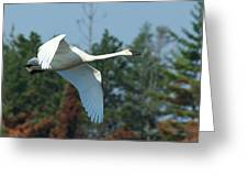 Trumpeter Swan In Flight Greeting Card