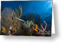 Trumpetfish, Belize Greeting Card