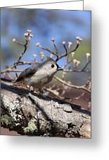Tufted Titmouse - Always Alert Greeting Card