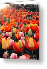Tulip Sunset 2 Greeting Card
