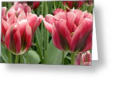 Tulipa Viridiflora 'adrian T Dominique' Greeting Card