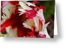 Tulips - Red And White Greeting Card