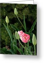 Tulips And Evergreen Greeting Card