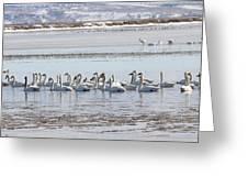 Tundra Swan - 0056 Greeting Card
