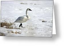 Tundra Swan - 0060 Greeting Card