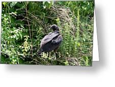 Black Vulture - Buzzard Greeting Card