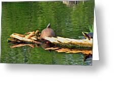 Turtle Sunbathing  Greeting Card