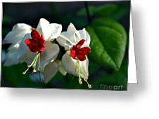 Twin Bleeding Heart Vine Flowers Greeting Card
