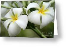 Twin Plumeria Flowers Greeting Card
