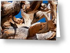 Twisted Bristlecone Pine Greeting Card