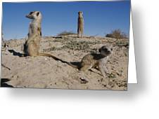 Two Adult Meerkats Suricata Suricatta Greeting Card