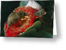 Two Australian Honey Possums Feed Greeting Card