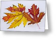 Two Autumn Maple Leaves  Greeting Card