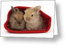 Two Baby Lionhead-cross Rabbits Greeting Card