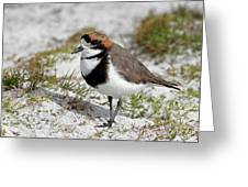 Two-banded Plover Charadrius Greeting Card