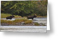 Two Bull Moose In Maine Greeting Card