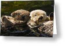 Two Captive Sea Otters Floating Back Greeting Card