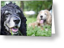 Two Cocker Spaniel Dogs Greeting Card