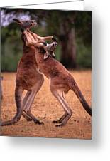 Two Kangaroos Appear To Be Dancing Greeting Card