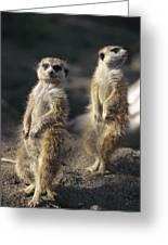 Two Meerkats, Suricata Suricatta, Stand Greeting Card