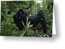 Two Mother Gorillas Carrying Greeting Card