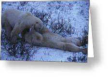 Two Polar Bears Wrestle In The Snow Greeting Card
