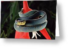 Two-striped Forest Pit Viper Bothrops Greeting Card