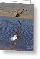 Two Strutting Egrets Greeting Card