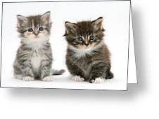 Two Tabby Kittens Greeting Card