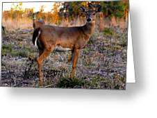 Two White Tails Greeting Card