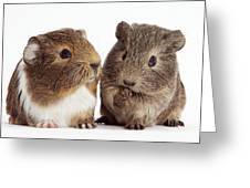 Two Young Guinea Pigs Greeting Card