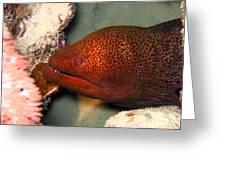 Undulated Moray Eel  Greeting Card