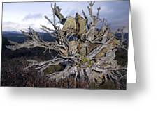 Uprooted Scot's Pine Tree Greeting Card