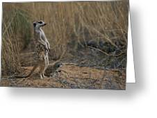 Using Its Tail, An Adult Meerkat Greeting Card