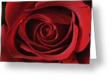 Valentine Rose - Color Greeting Card