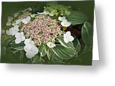 Variegated Lace Cap Hydrangea - Pink And White Greeting Card